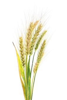 Weizenohren auf weißem grund