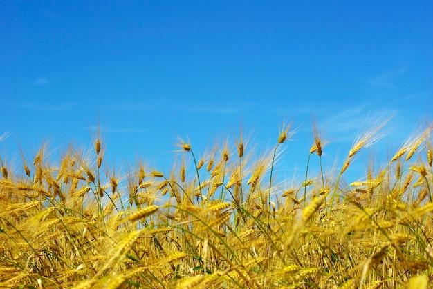 Weizenohren gegen den blauen himmel