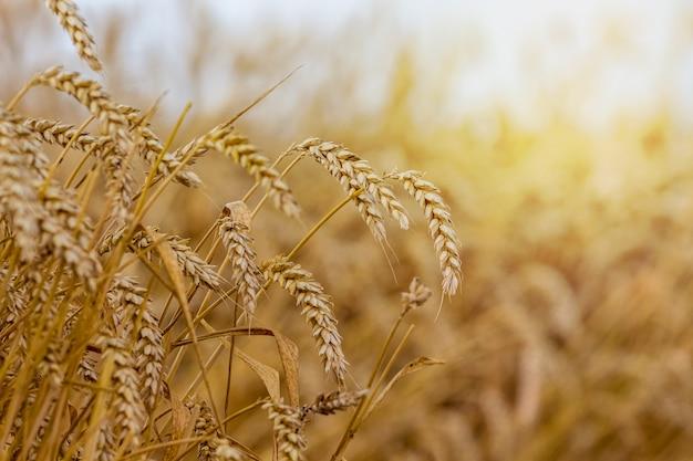 Weizenspitzen im feld auf einem verschwommenen hintergrund