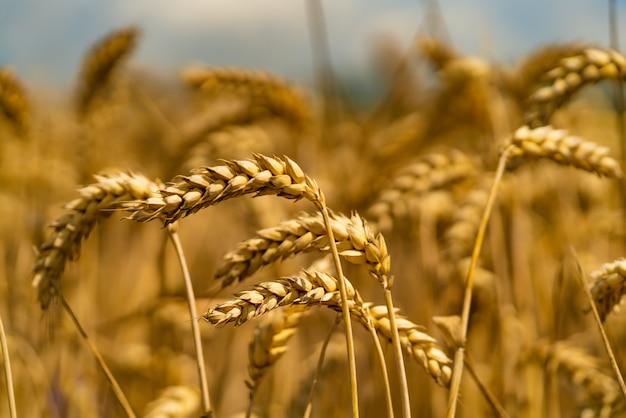 Weizenspitzen neigen sich zur seite des windes auf dem sommergebiet. nahansicht