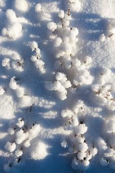 Weizenstoppeln auf dem feld unter dem schnee