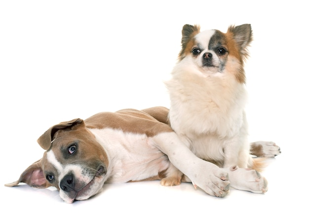 Welpe american staffordshire terrier und chihuahua