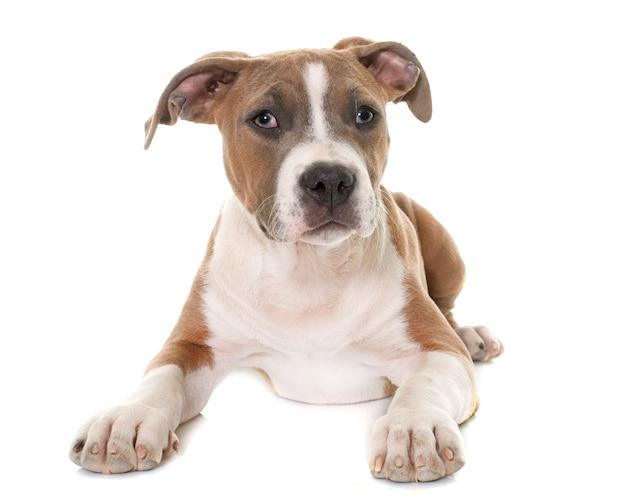 Welpe american staffordshire terrier