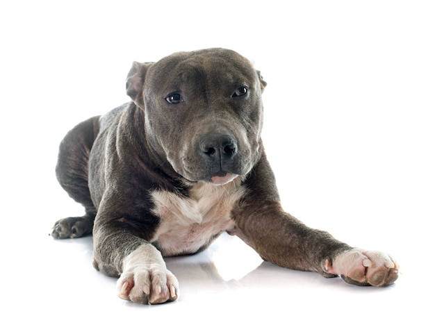 Welpe american staffordshire terrier