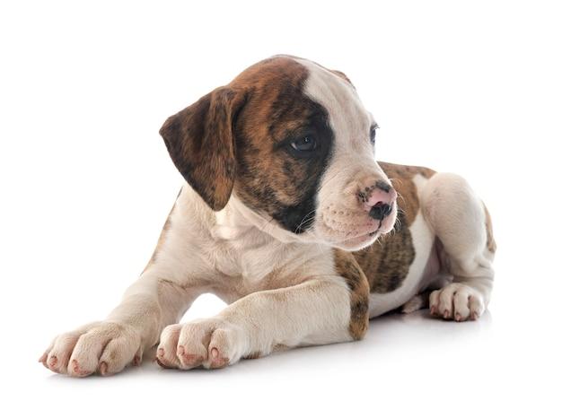 Welpe amerikanische bulldogge