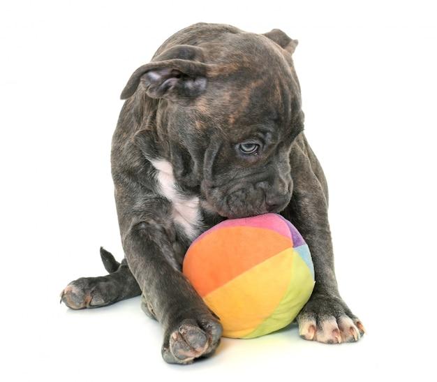 Welpe amerikanischer staffordshire-terrier