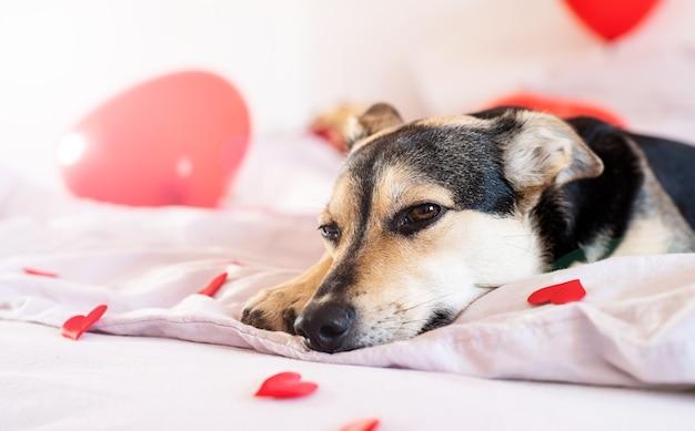 Welpe auf zum valentinstagbett mit roten ballons dekoriert
