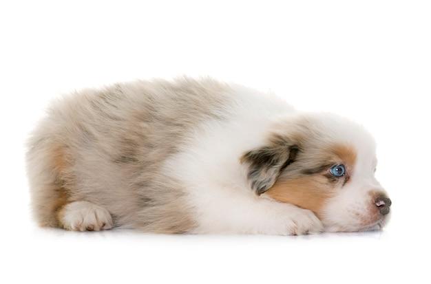 Welpe australischer schäferhund