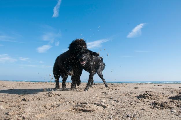 Welpe bouvier des flandres, der auf ein labrador, spielend auf den strand springt