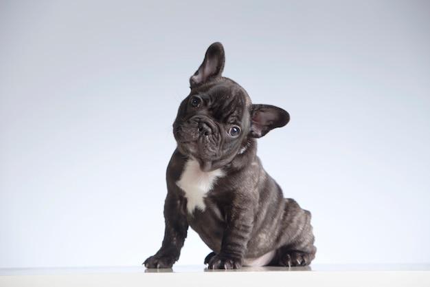 Welpe der französischen bulldogge, der die kamera mit seinem kopf gekippt zur seite betrachtet
