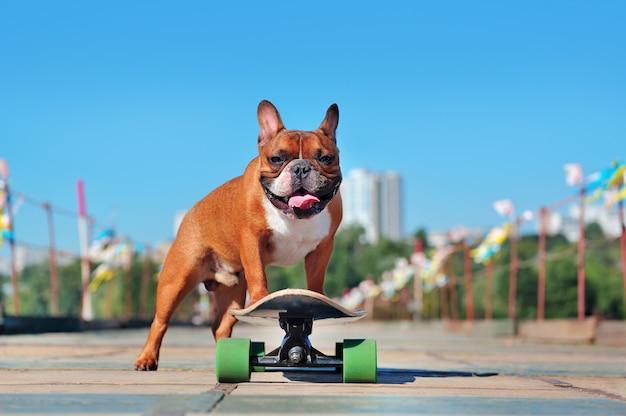 Welpe der französischen bulldogge stehend auf dem langen brett
