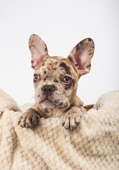 Welpe der französischen bulldogge