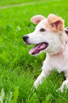 Welpe des goldenen apportierhunds auf wiese
