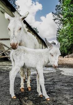 Welpe des weißen esels, typisch sardische rasse, gerade drei stunden geboren, posiert mit der müden mutter für die geburt