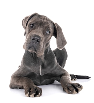 Welpe deutsche dogge