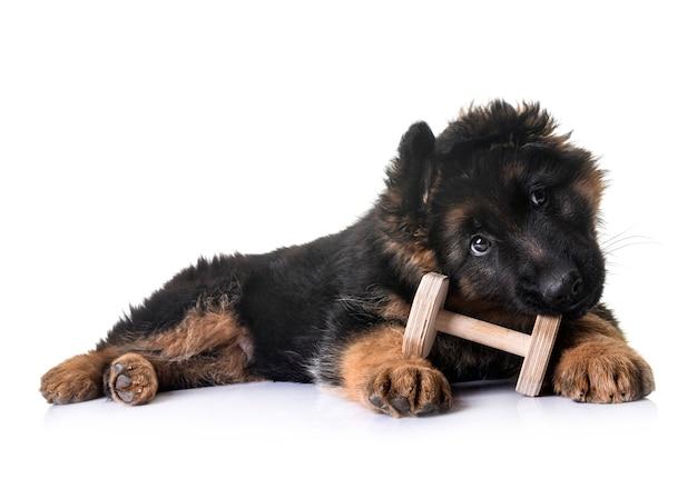 Welpe deutscher schäferhund
