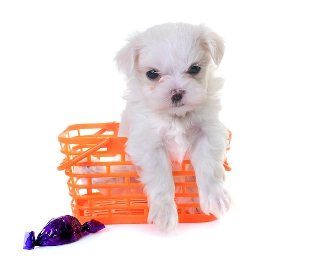 Welpe malteser hund
