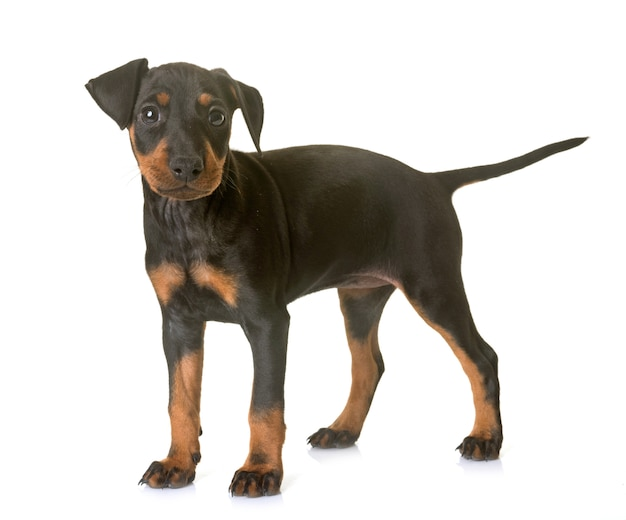 Welpe manchester terrier