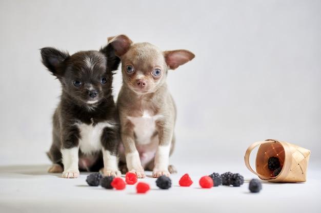 Welpe mit zwei netter chihuahuahunden. lustige kleine hunde. vorbereitung für eine hundeausstellung