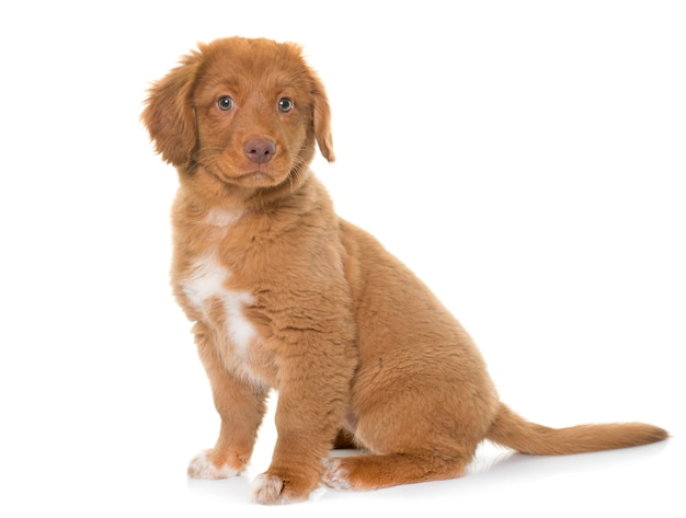 Welpe nova scotia duck tolling retriever