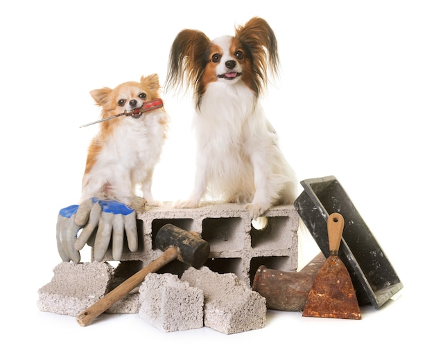 Welpe pappillon hund, chihuahua und mauerwerk