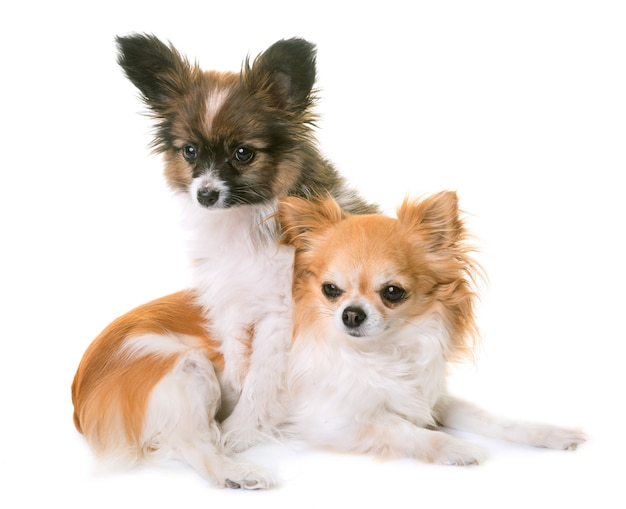 Welpe pappillon hund und chihuahua