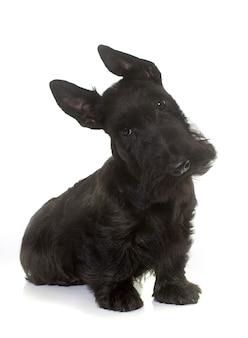 Welpe scottish terrier
