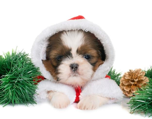 Welpe shih tzu in weihnachten