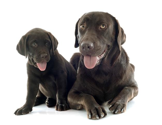 Welpe und erwachsener labrador-apportierhund
