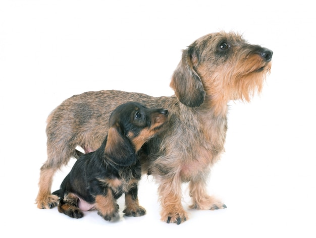 Welpe und mutter wire-haired dachshund