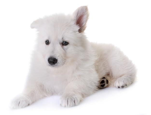 Welpe weißer schweizer schäferhund