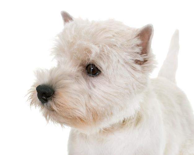 Welpe west highland white terrier