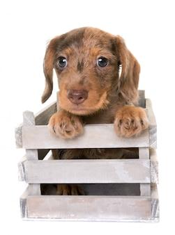 Welpe wire-haired dachshund