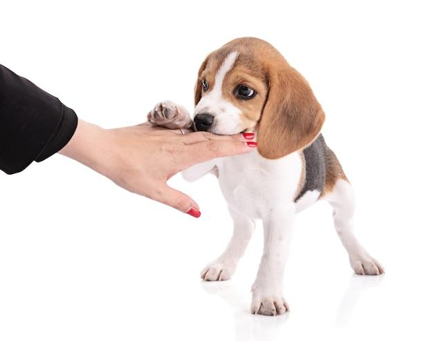 Welpen beagle hund kaut eine hand