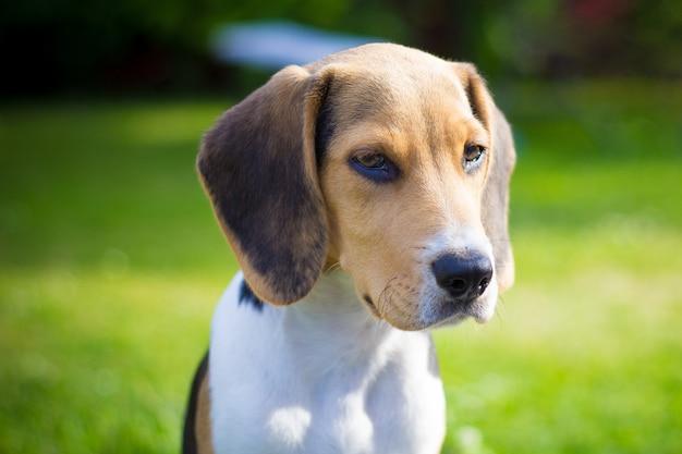 Welpen beagle hund porträt