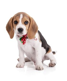Welpen beagle mit einer weihnachtskette auf weiß lokalisiert