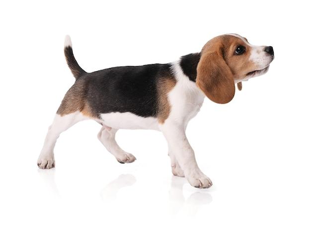 Welpen beagle steht still