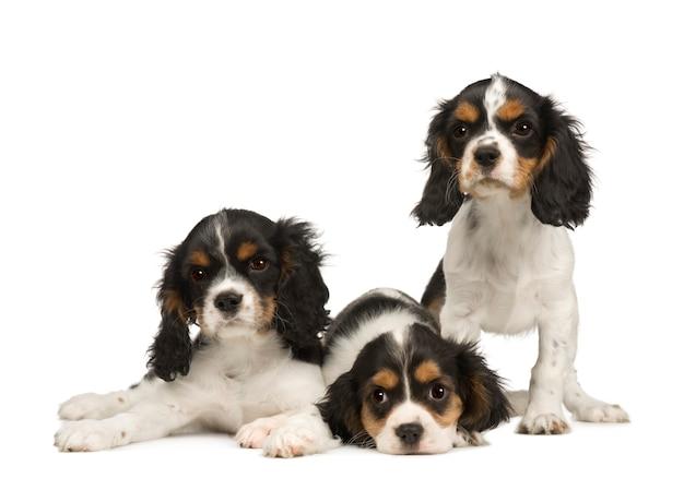 Welpen cavalier king charles spaniel mit 3 monaten. hundeporträt isoliert