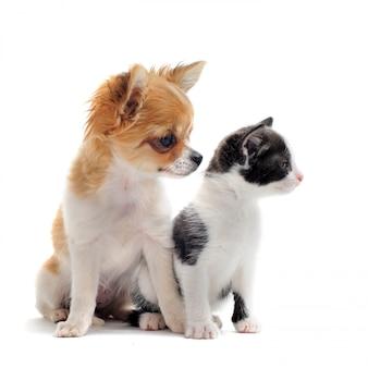 Welpen chihuahua und kätzchen