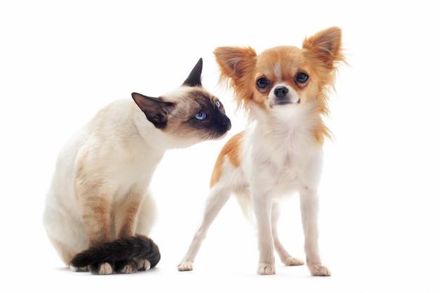 Welpen chihuahua und siamesisches kätzchen
