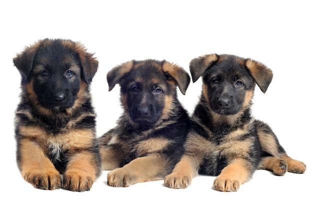 Welpen deutsche schäferhunde