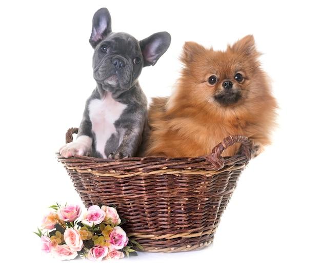 Welpen-französische bulldogge und pommern