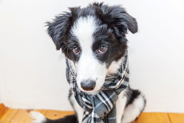 Welpen-hunde-grenzcollie, der warmen wäscheschal um den hals innen trägt