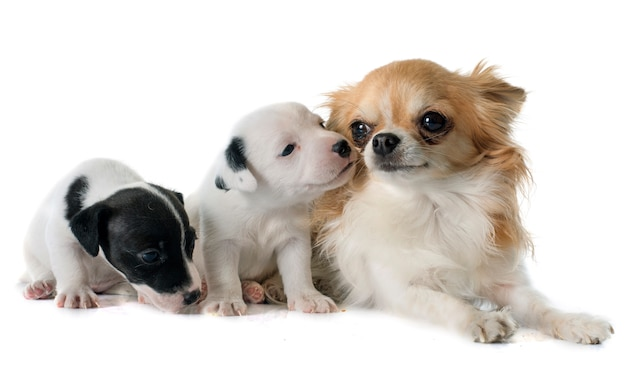 Welpen jack russell terrier und chihuahua