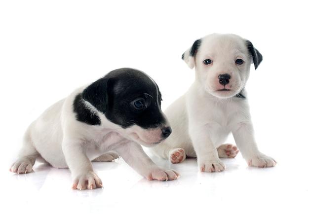 Welpen jack russell terrier