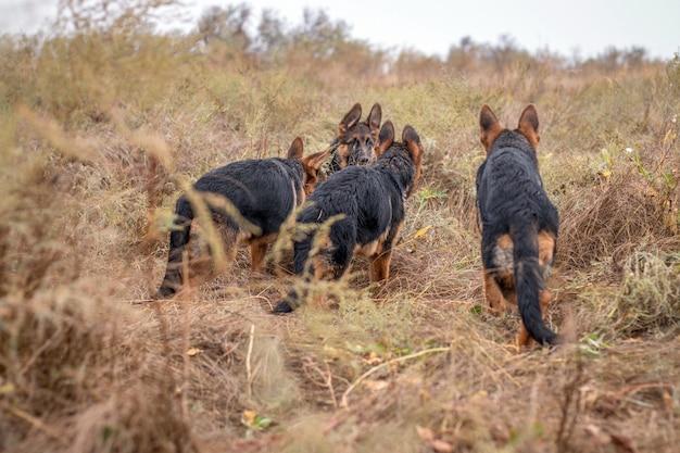 Welpen spielen im freien. schäferhundhunde auf dem herbstgebiet. haustier. heimtier und familienvormund. wilde natur.
