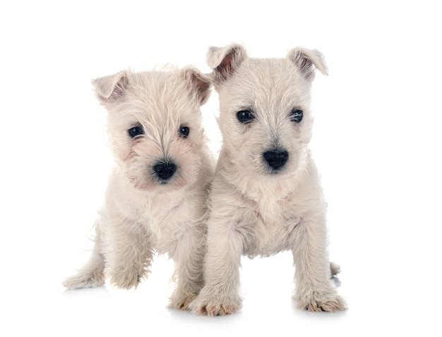 Welpen west highland white terrier vor weißem hintergrund