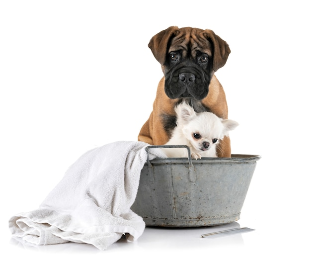 Welpenbullmastiff und chihuahua im bad