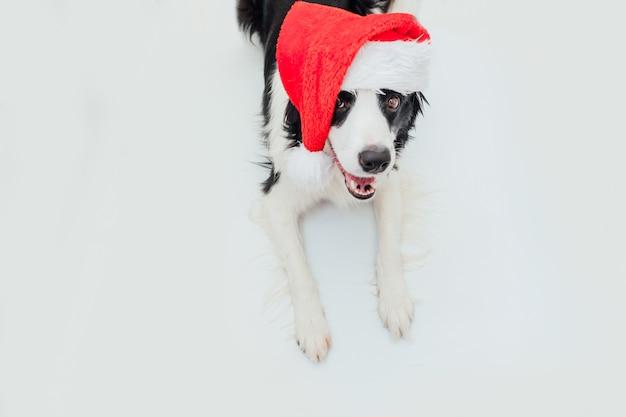 Welpenhunde-grenzcollie, der weihnachtsmannkostüm rote weihnachtsmannmütze lokalisiert auf weißem hintergrund trägt