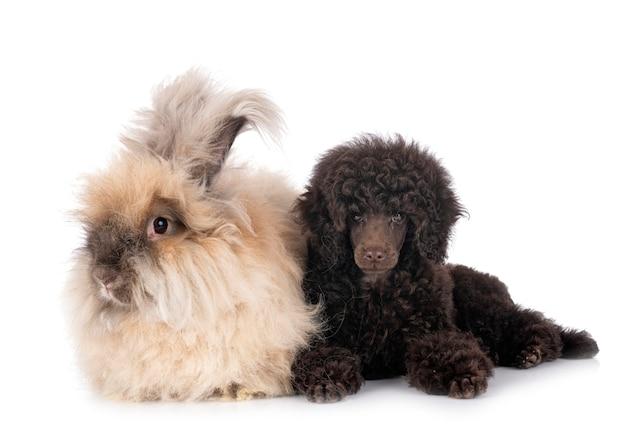 Welpenspielzeugpudel und kaninchen